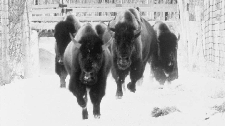 The Great Buffalo Saga