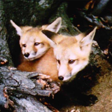 Merveilles de la faune – Le renard roux