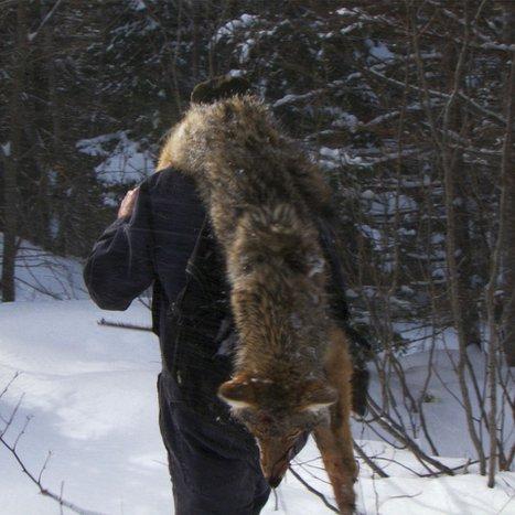 La menace du coyote