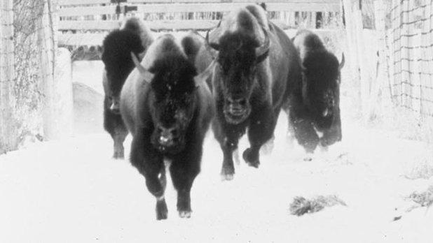 L'Odyssée du grand bison d'Amérique
