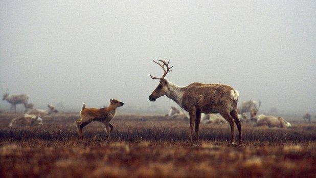 Vivre comme les caribous