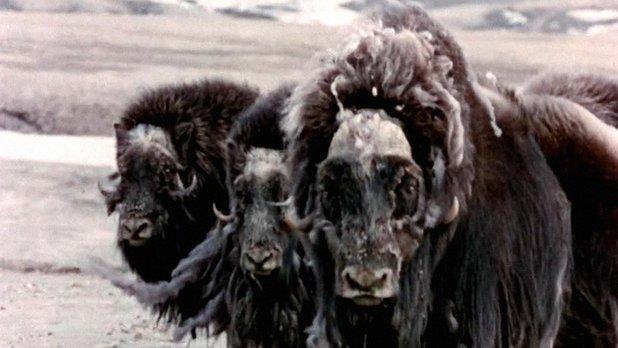L'Extrême-Nord canadien : la faune et la flore