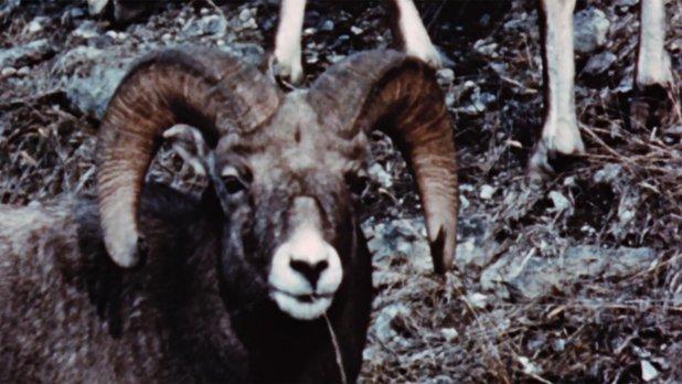 Merveilles de la faune - Le mouflon d'Amérique