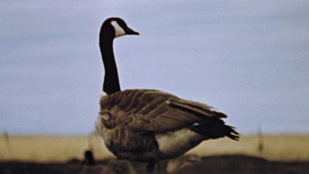 Hinterland Who's Who: Canada Goose