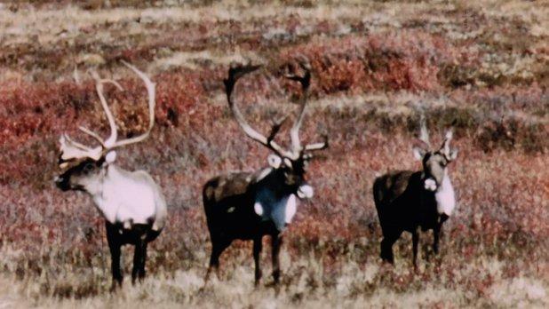 Merveilles de la faune - Le renne arctique