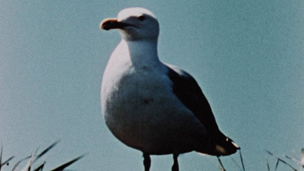 Hinterland Who's Who: Herring Gull