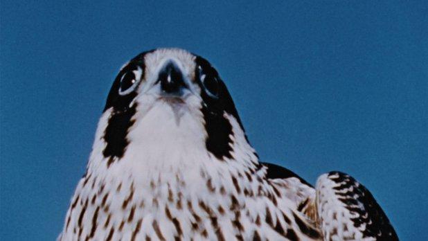 Hinterland Who's Who: Peregrine Falcon