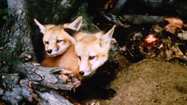 Hinterland Who's Who: Red Fox