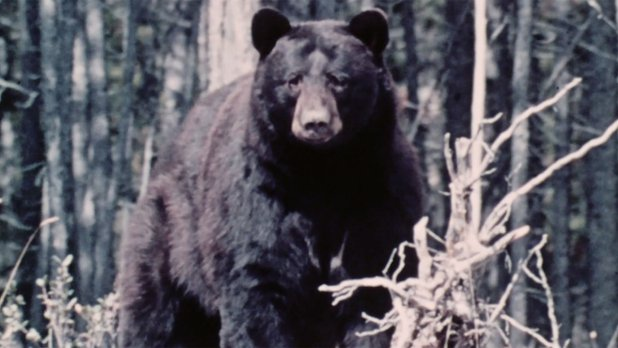 Hinterland Who's Who: Black Bear