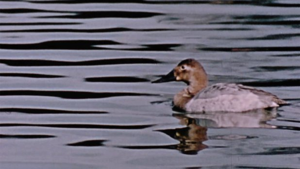 Hinterland Who's Who: The Canvasback Duck
