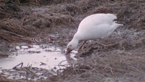 Hinterland Who's Who: The Greater Snow Goose