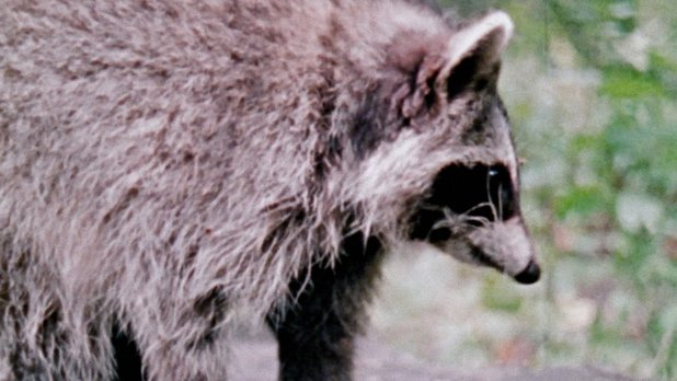 Hinterland Who's Who: The Raccoon