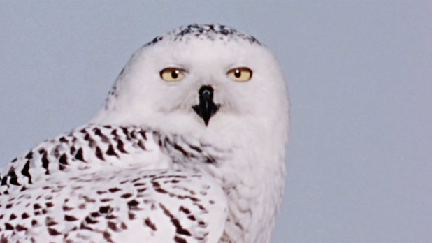 Hinterland Who's Who: The Snowy Owl
