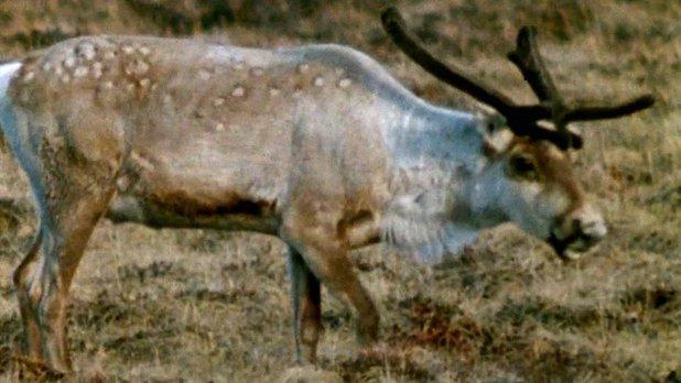 Le caribou des toundras