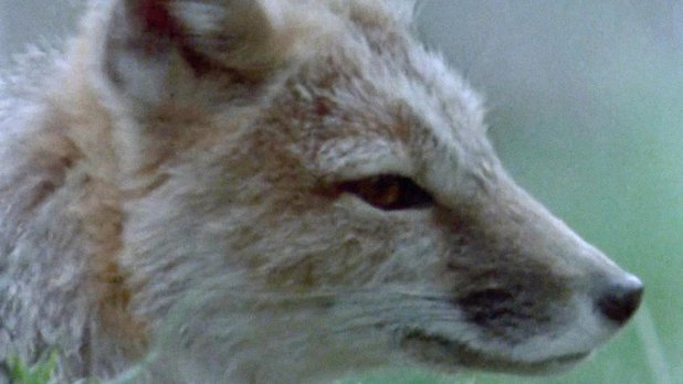 Return of the Swift Fox
