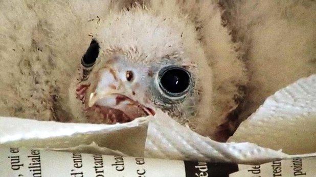 Humanima - Fauconnier pour la vie