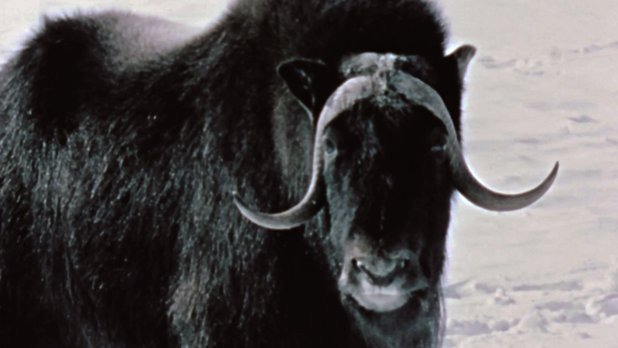 Hinterland Who's Who: The Musk Ox