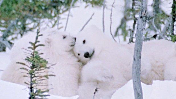 Hinterland Who's Who: The Polar Bear