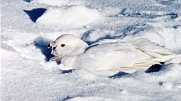 Hinterland Who's Who: The Willow Ptarmigan