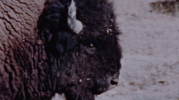 Merveilles de la faune - Le bison