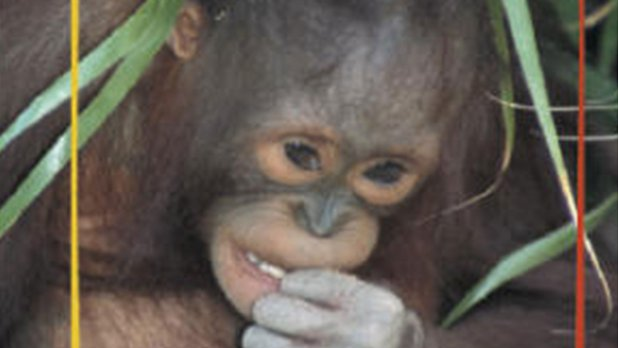 Champions of the Wild: Orangutans