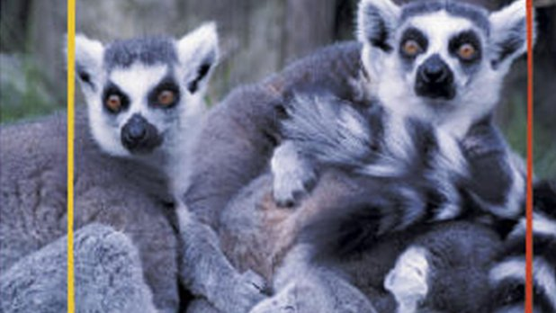Champions of the Wild: Lemurs