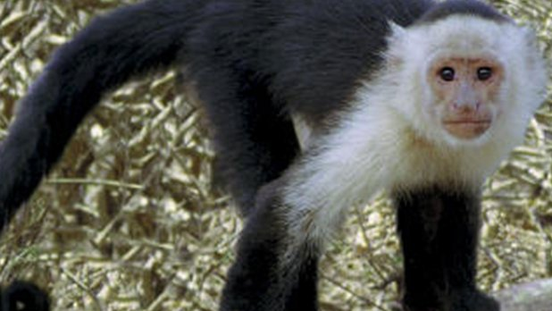 Champions of the Wild: Costa Rican Monkeys