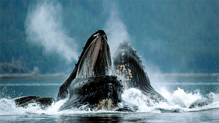 Mission baleines : les derniers géants